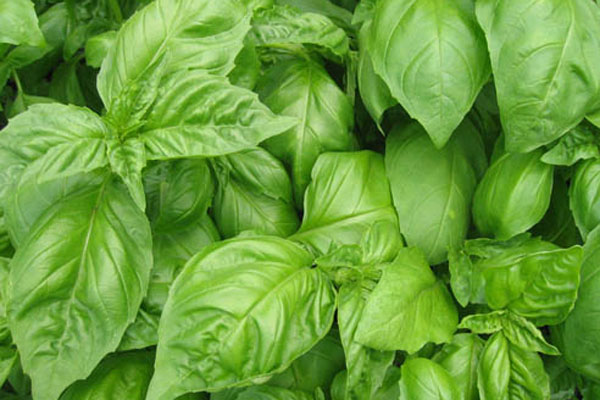 Great Pesto, Easy to Make!